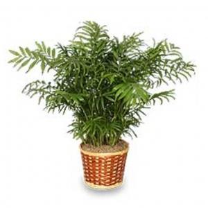 Palm Plant 6